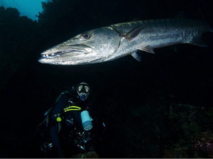 Diver and Great Barracuda. Tulamben, Bali by Doug Anderson 